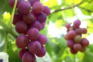 ブドウ果実エキスの抗酸化作用で健やかな肌に導く