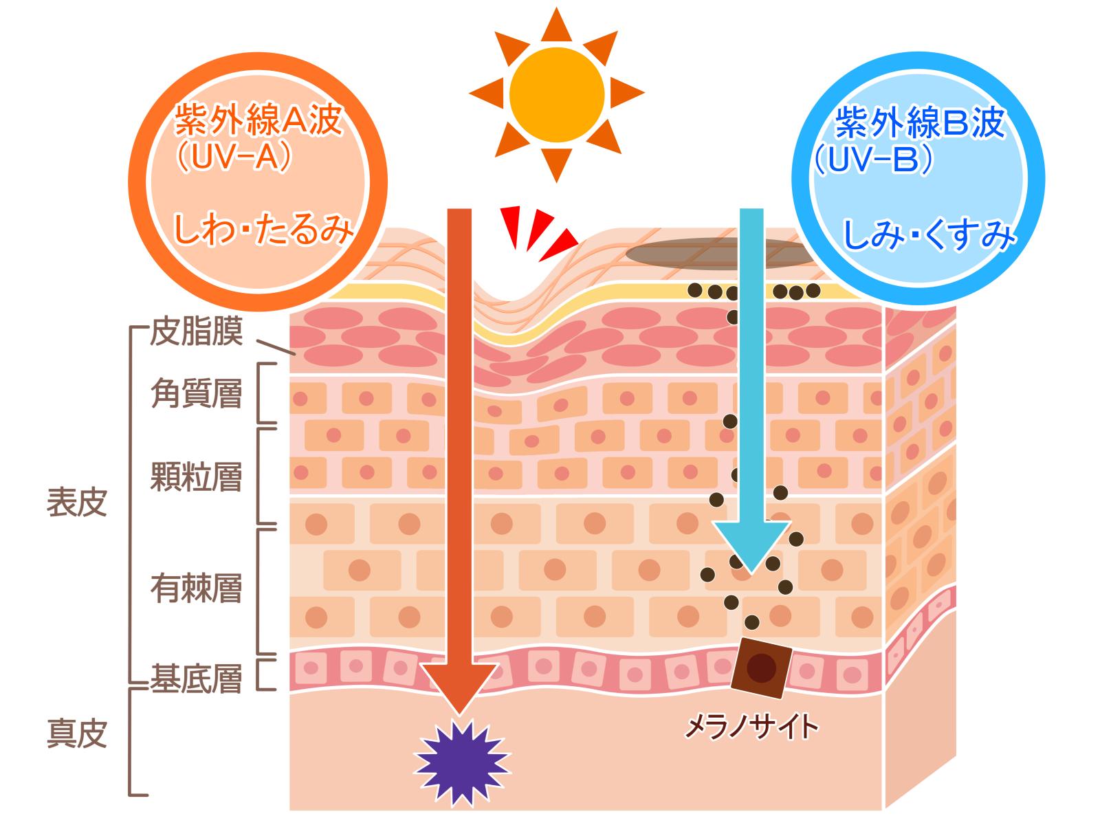紫外線が及ぼす影響